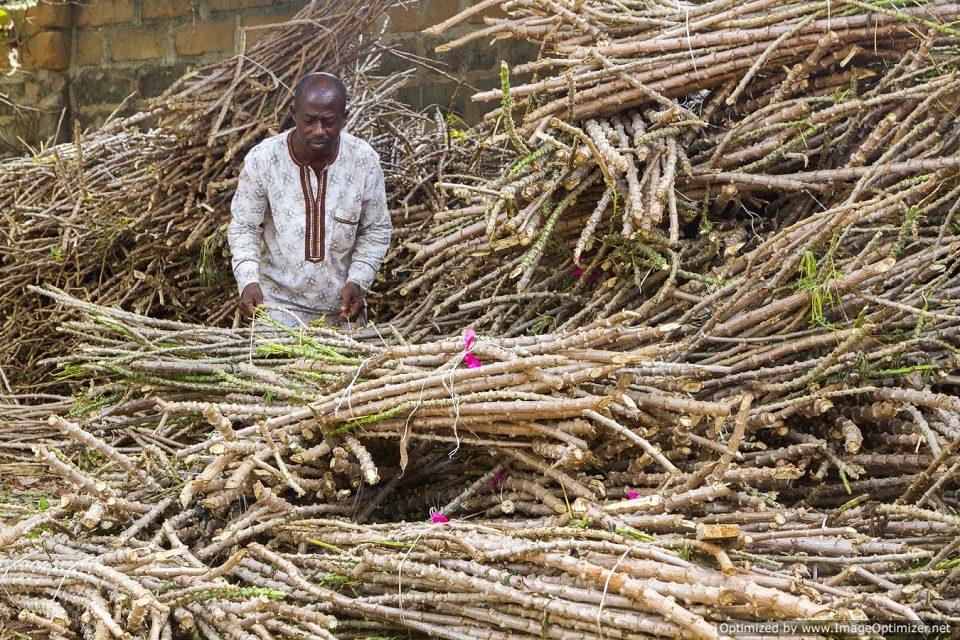 Cassava enterprise taking money